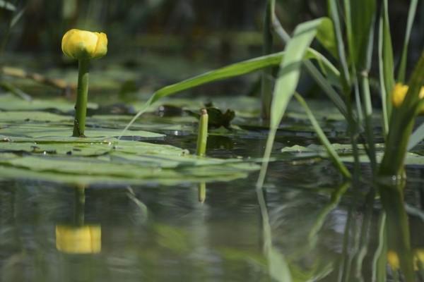 Nuphar lutea / Gelbe Teichrose