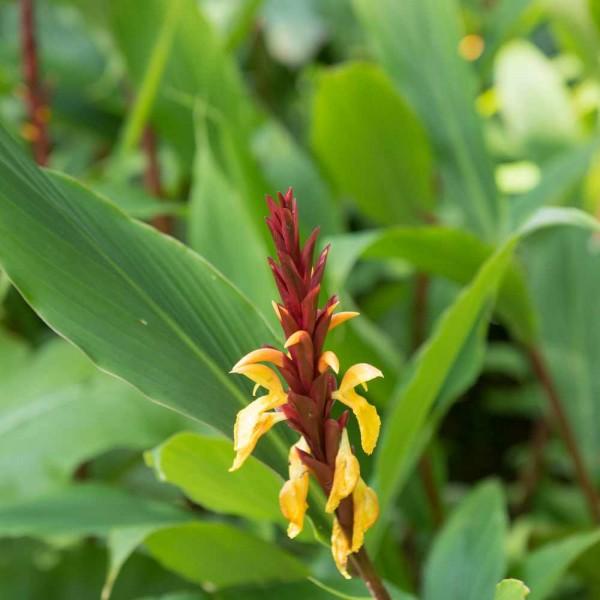 Cautleya gracilis robusta / Winterharter Ingwer