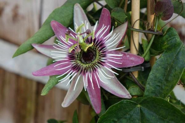 Passiflora racemosa / Passiflora