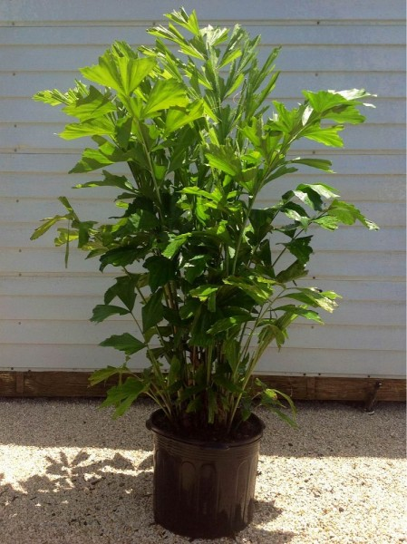 Caryota mitis / Fischschwanzpalme