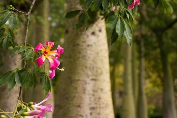 Chorisia speciosa / Florettenseidenbaum