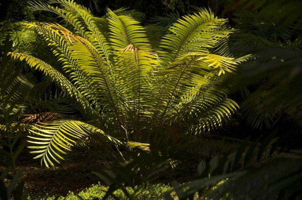 Lepidozamia hopei / Palmfarn 55cm