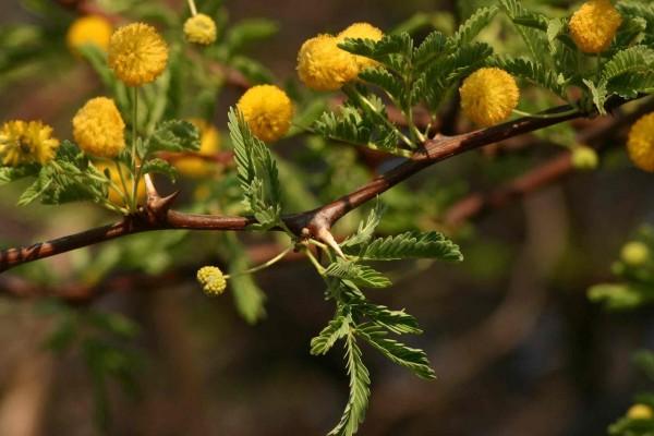 Acacia erioloba / Kameldornbaum