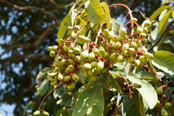 Irvingia malayana / Wilder Mandelbaum