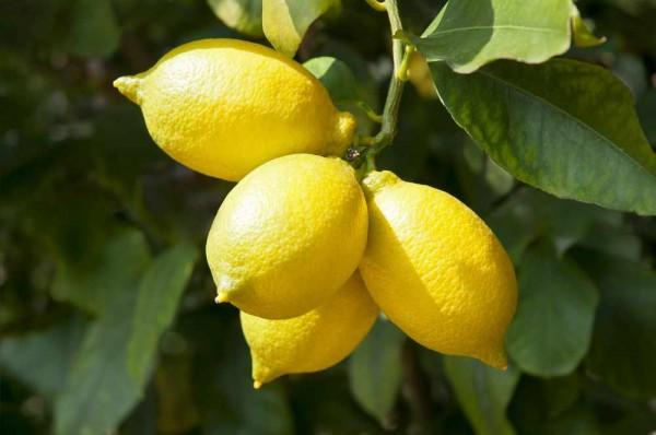 Citrus amalfitano / Amalfi-Zitrone