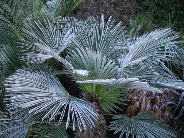 Trachycarpus wagnerianus / Wagners Hanfpalme