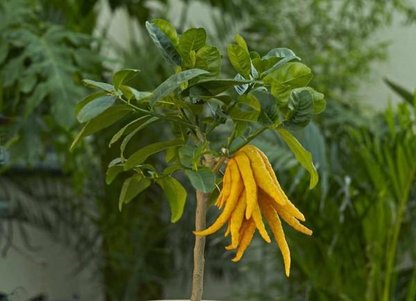 Citrus medica / Buddhas Hand / Zitronat-Zitrone