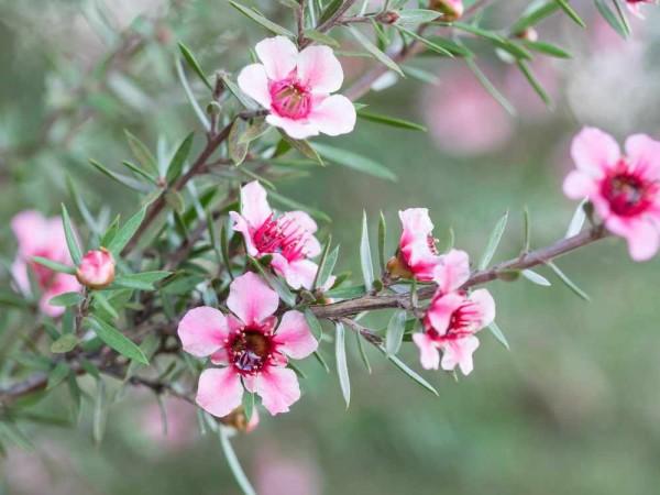 Leptospermum scoparium / Südseemyrte / Manuka