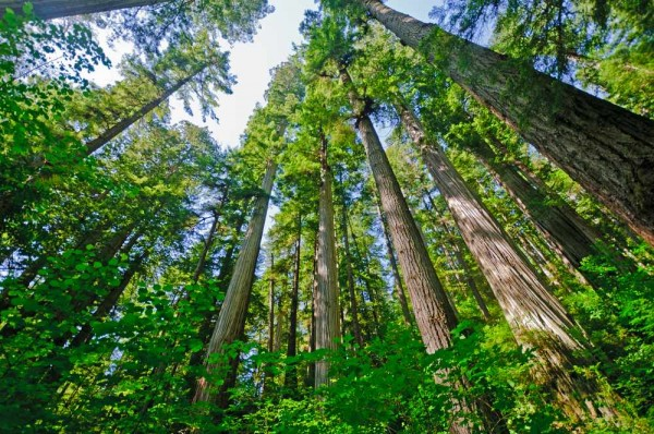 Sequoia sempervirens / Küsten-Mammutbaum