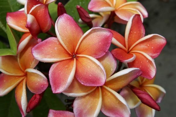 Plumeria Penang Peach / Frangipani