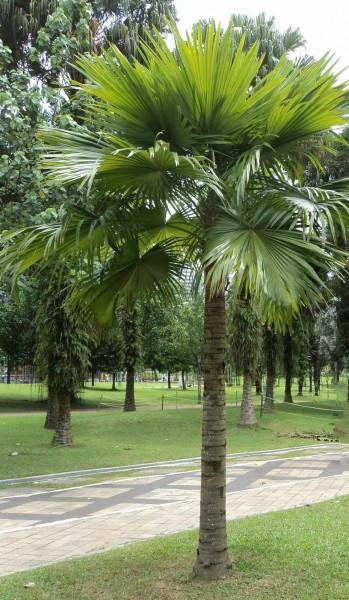 Livistona rotundifolia / Serdang-Schirmpalme