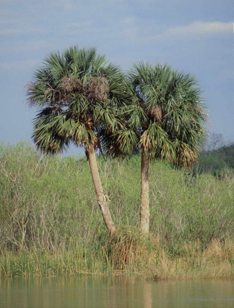 Sabal palmetto / Palmetto-Palme