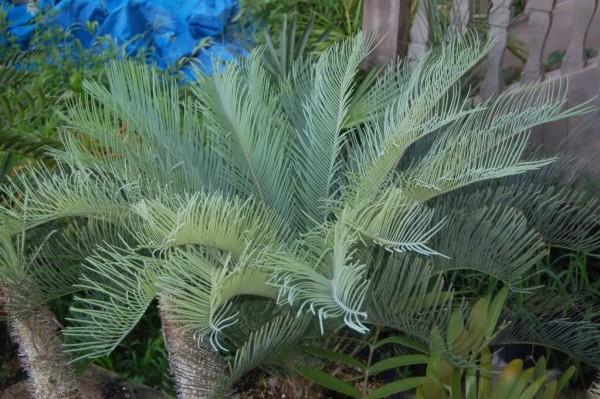 Cycas cairnsiana / Palmfarn