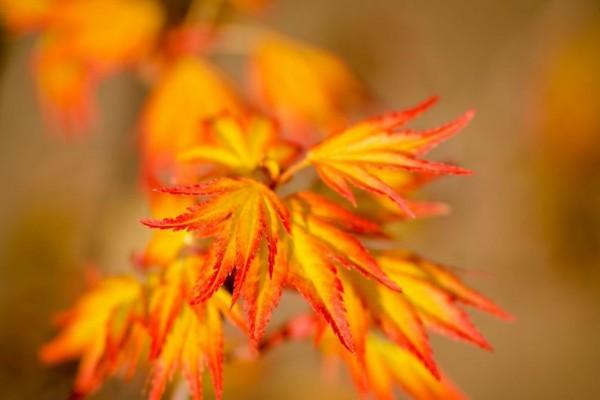 Acer palmatum orange dream / Fächerahorn orange dream
