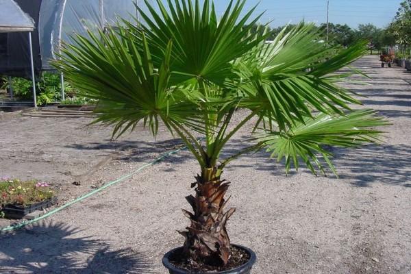 Washingtonia robusta / Petticoat-Palme Pflanze