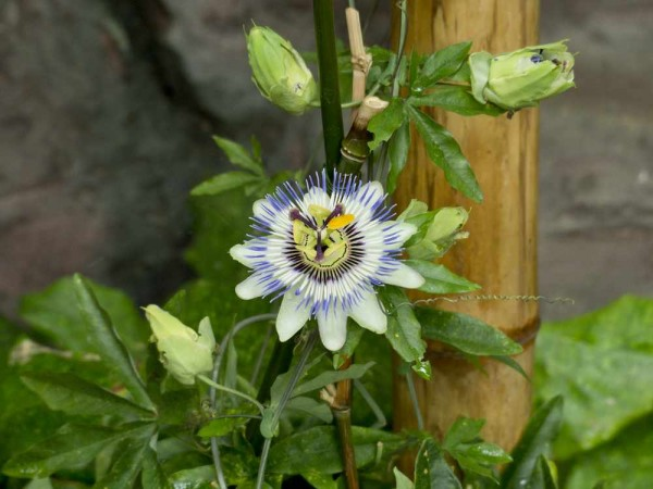 Passiflora caerulea / Passionsblume