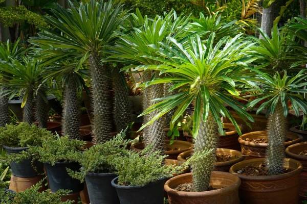 Pachypodium lamerei / Madagaskarpalme / Dickfuss