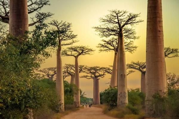 Adansonia fony (rubrostipa) / Fony Baobob