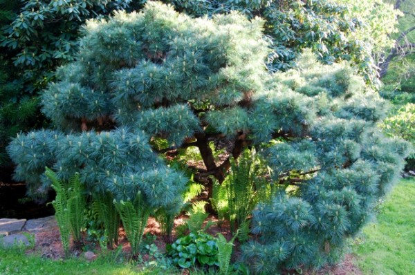 Pinus maximartinezii / Martínez Piñon Kiefer