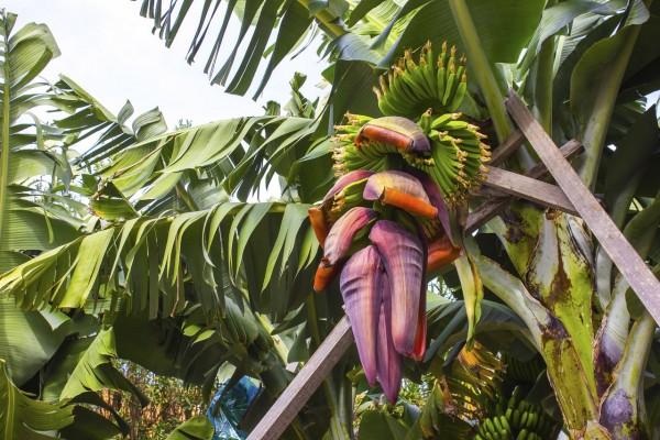 Musa cheesmani / Cheesman's Banana