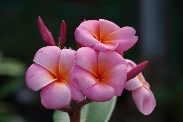 Plumeria Aphrodite / Frangipani