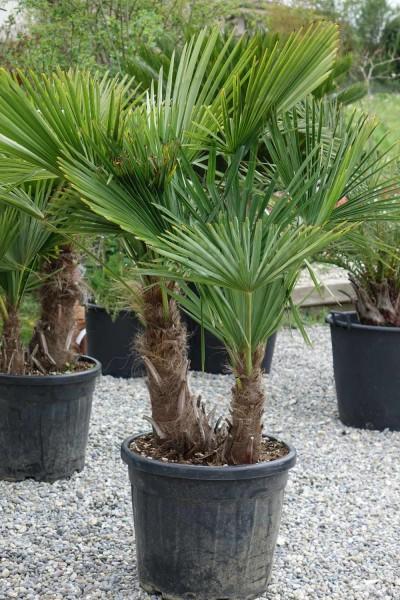 Trachycarpus fortunei / Tessinerpalme 2-stämmig