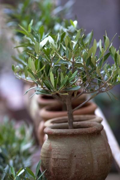 Olea europaea / Olivenbaum