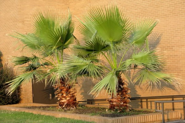 Washingtonia filifera / Washington-Palme Pflanze