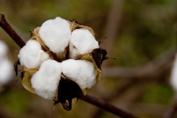 Gossypium barbadense / Baumwollpflanze