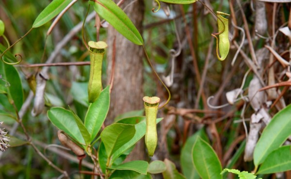 Nepenthes madagascariensis / Kannenpflanze / Fleischfressende Pflanze