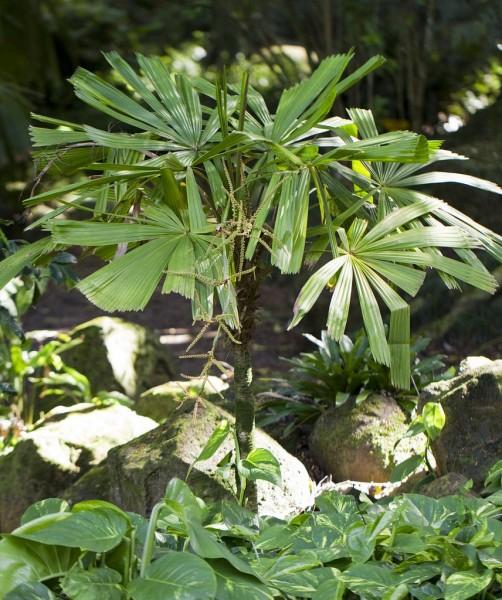 Licuala aurantiaca