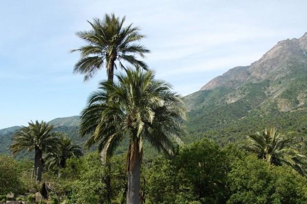 Jubaea chilensis / Honigpalme