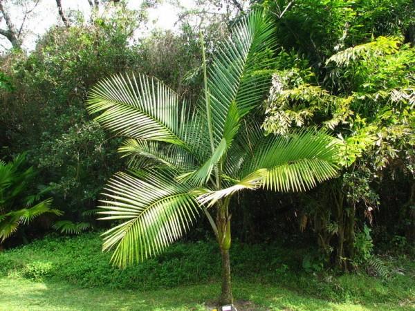 Prestoea acuminata / Bergkohl-Palme